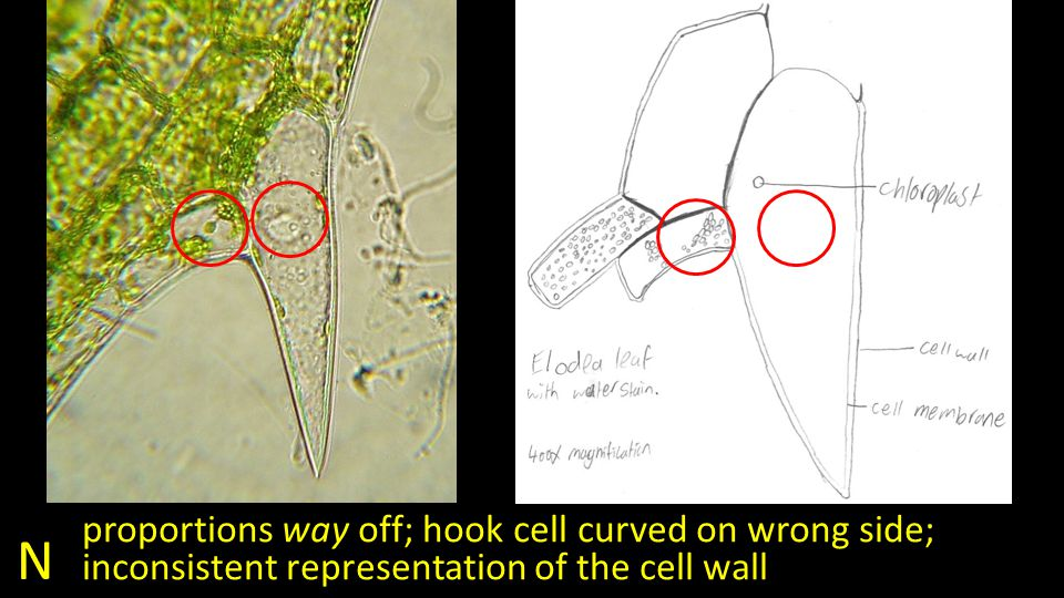 N proportions way off; hook cell curved on wrong side; inconsistent representation of the cell wall