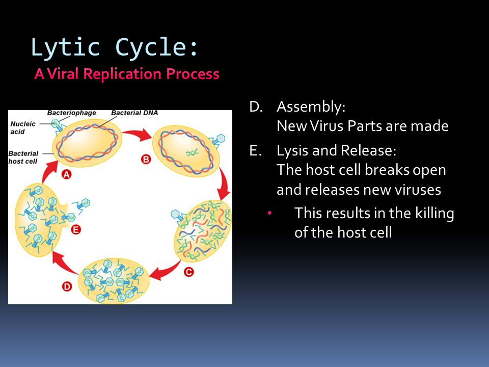 Lytic Cycle: D.Assembly: New Virus Parts are made E.Lysis and Release: The host cell breaks open and releases new viruses This results in the killing
