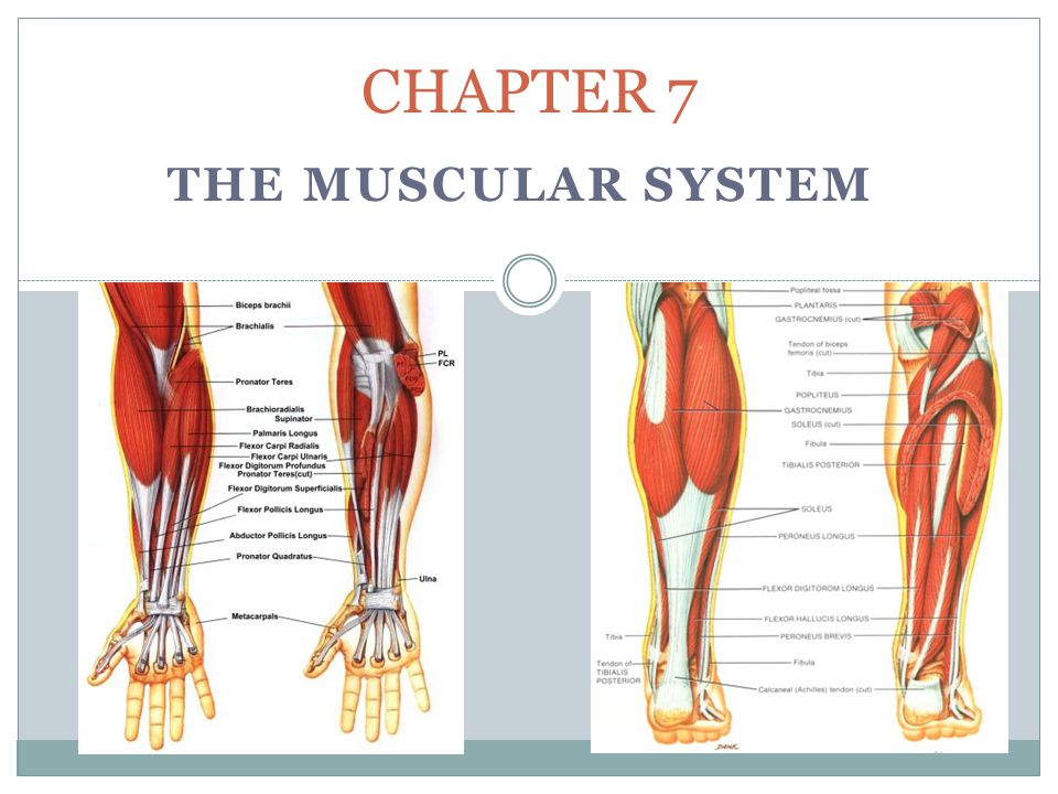 Muscular System Terms Origin – point of _____ of a muscle; the end that does not _____ Insertion – point of _____ of a muscle; the end that does _____