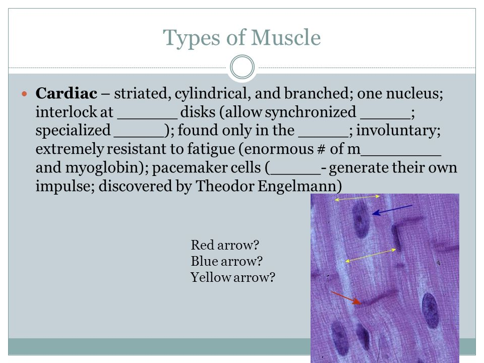 Types of Muscle Skeletal – striated, cylindrical; multi________; voluntary; can be involuntary (r_____); made of slow- and fast-twitch fibers  Slow-twitch = ______, endurance, _____ contractions, lots of blood, energy source is _____, duration is hours; contain lots of myoglobin (oxygen and iron-binding protein)  Fast-twitch = ______, quick bursts, less blood, energy source is _____ and ___________, duration is up to 30 min; nerves run throughout the muscle (innervated); not as much ________ Skeletal muscle video (3:33)