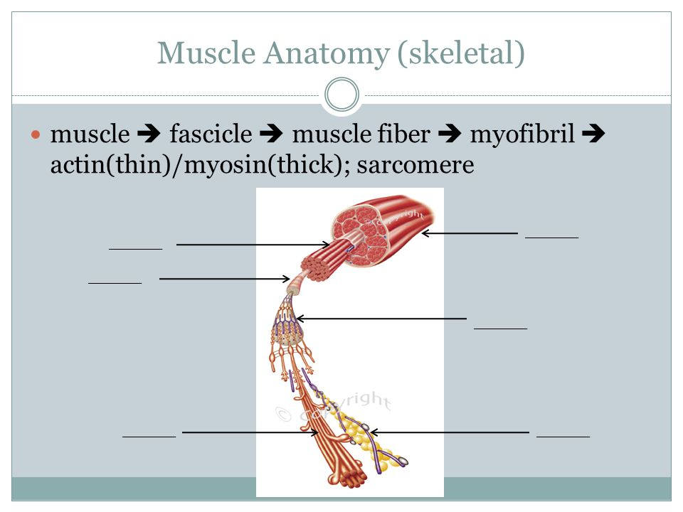 Muscle Anatomy (skeletal) muscle  fascicle  muscle fiber  myofibril  actin(thin)/myosin(thick); sarcomere _____