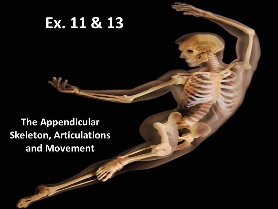 Ex. 11 & 13 The Appendicular Skeleton, Articulations and Movement