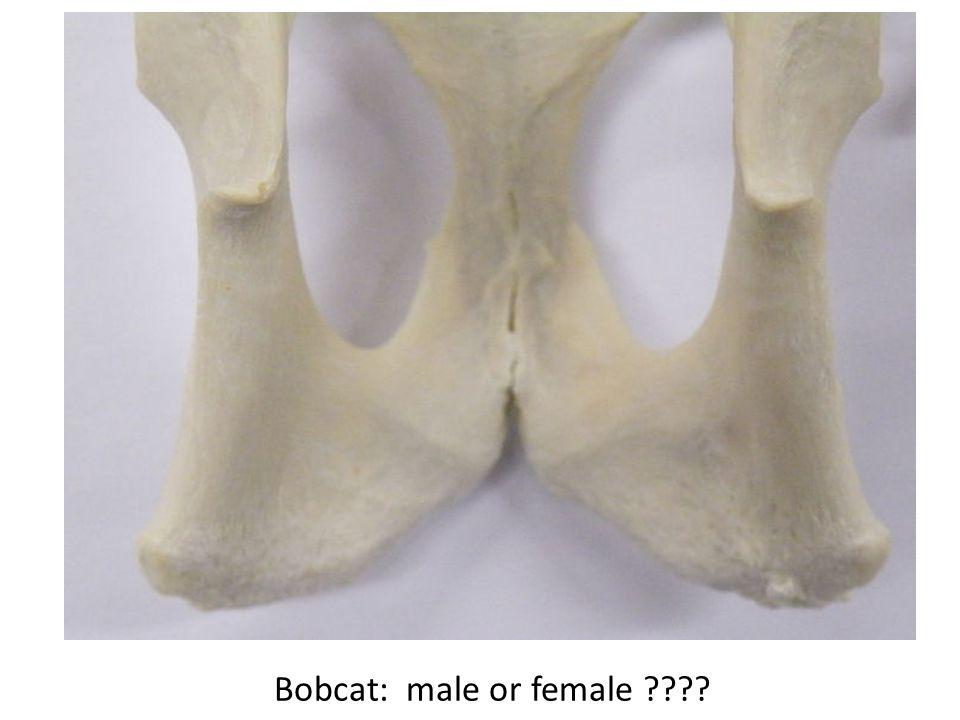 Bobcat: male or female