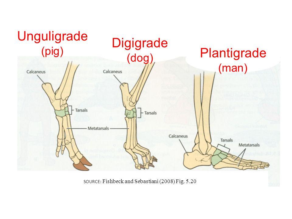 Unguligrade (pig) Digigrade (dog) Plantigrade (man) SOURCE: Fishbeck and Sebastiani (2008) Fig.