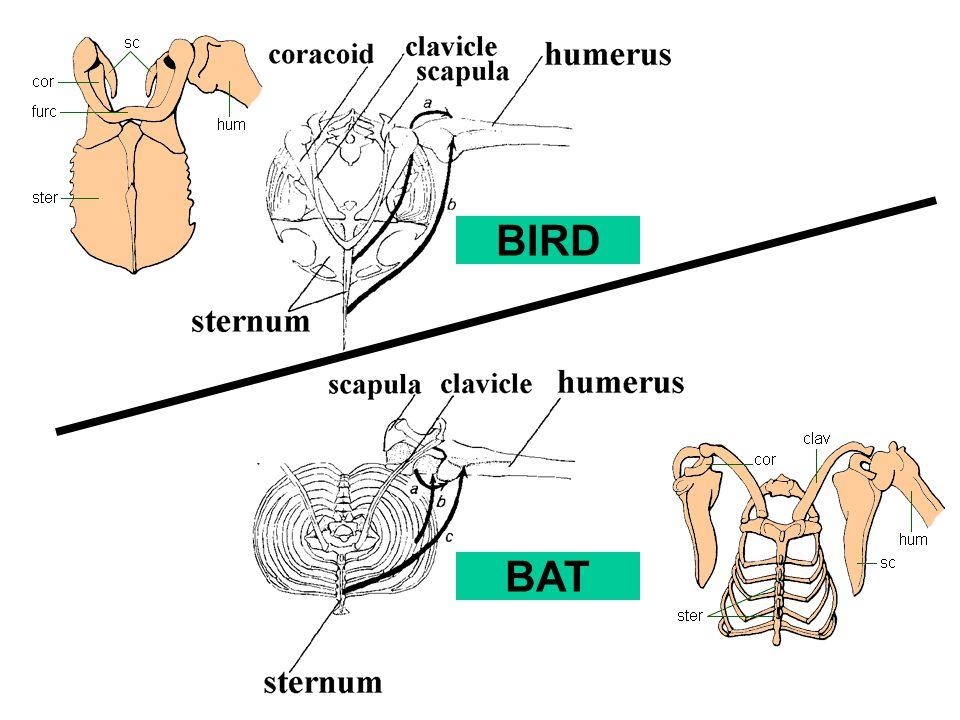 BIRD BAT