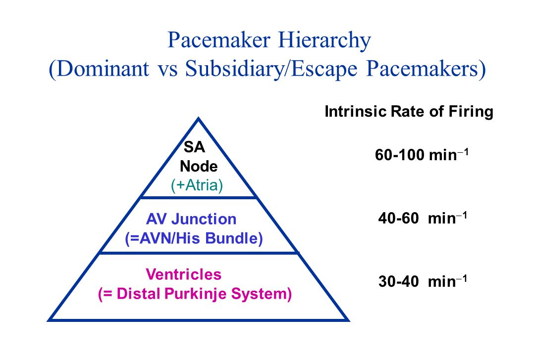 Pacemaker Hierarchy (Dominant vs Subsidiary/Escape Pacemakers) SA Node (+Atria) AV Junction (=AVN/His Bundle) Ventricles (= Distal Purkinje System) In