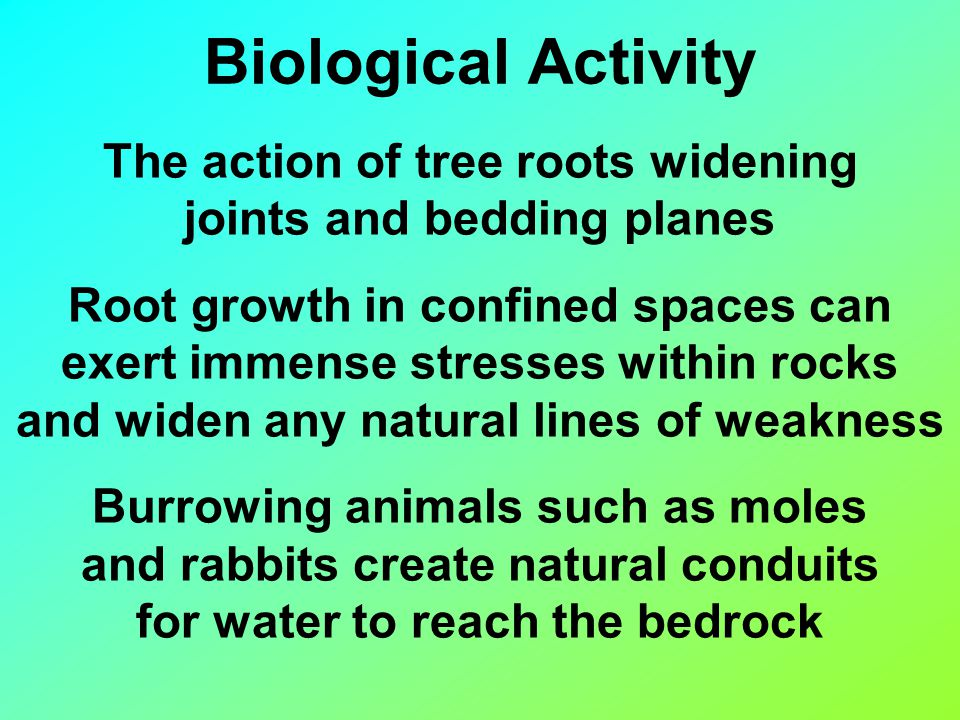 Biological Activity The action of tree roots widening joints and bedding planes Root growth in confined spaces can exert immense stresses within rocks and widen any natural lines of weakness Burrowing animals such as moles and rabbits create natural conduits for water to reach the bedrock