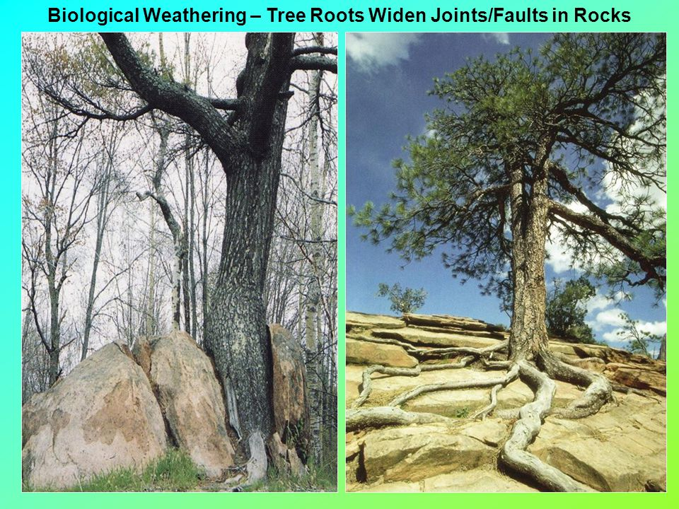 Biological Weathering – Tree Roots Widen Joints/Faults in Rocks