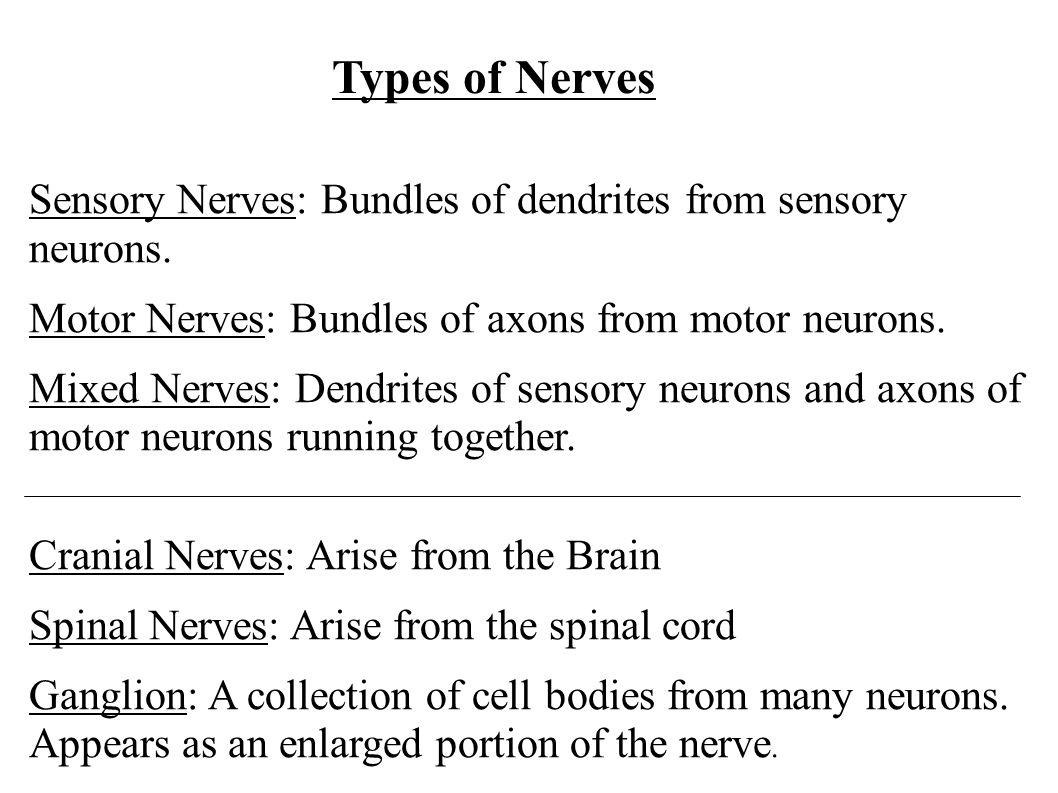 Sensory Nerves: Bundles of dendrites from sensory neurons. Motor Nerves: Bundles of axons from motor neurons. Mixed Nerves: Dendrites of sensory neuro