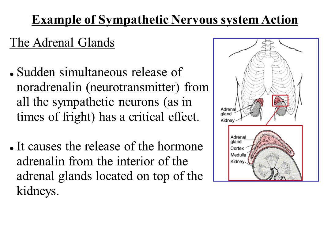 Example of Sympathetic Nervous system Action The Adrenal Glands Sudden simultaneous release of noradrenalin (neurotransmitter) from all the sympathetic neurons (as in times of fright) has a critical effect.