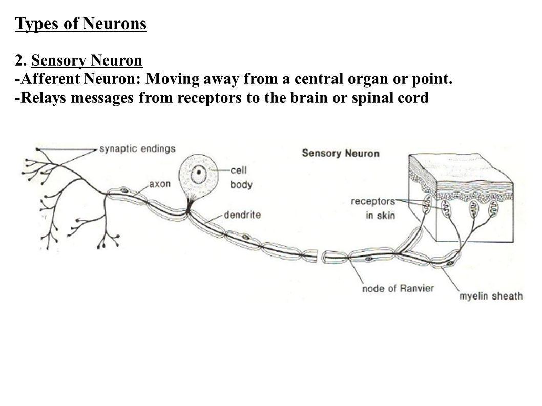 Types of Neurons 2.Sensory Neuron -Afferent Neuron: Moving away from a central organ or point.