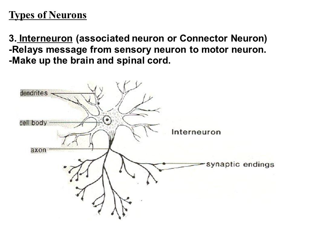 Types of Neurons 3.