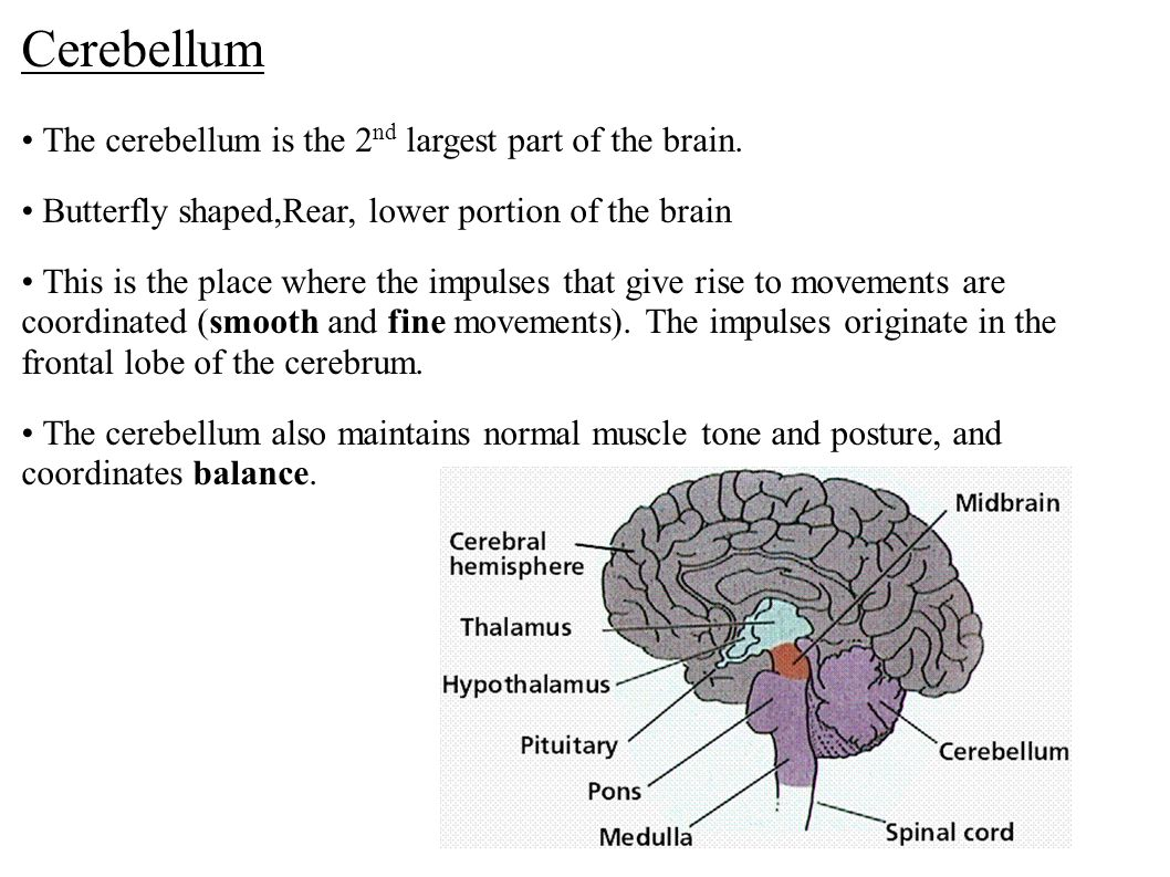 Cerebellum The cerebellum is the 2 nd largest part of the brain. Butterfly shaped,Rear, lower portion of the brain This is the place where the impulse