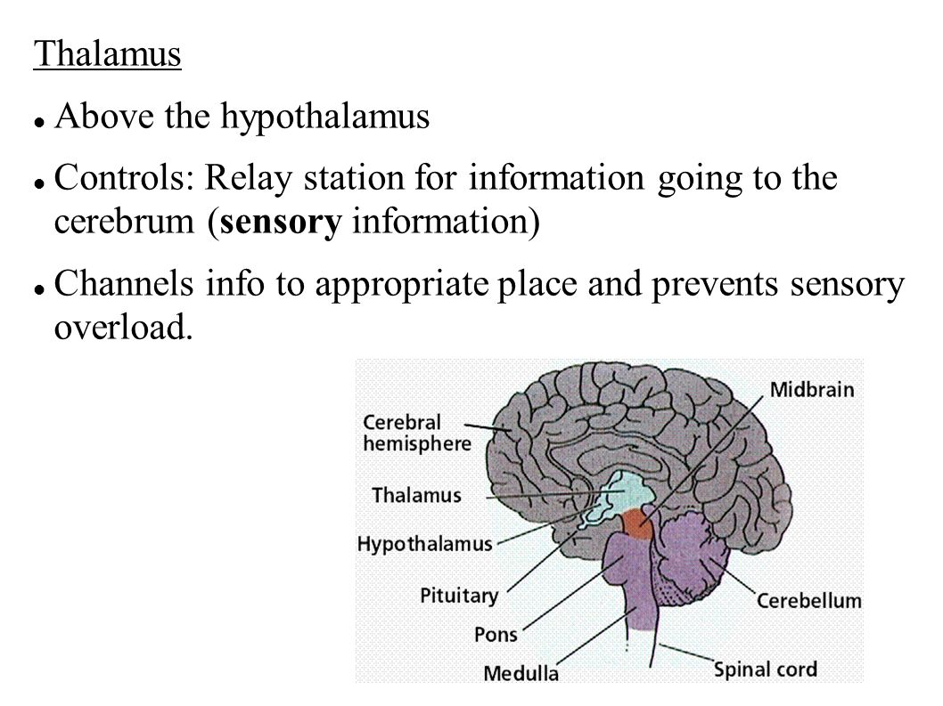 Thalamus Above the hypothalamus Controls: Relay station for information going to the cerebrum (sensory information) Channels info to appropriate place and prevents sensory overload.
