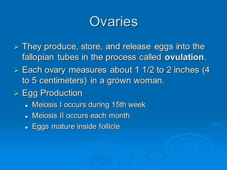 Ovaries  They produce, store, and release eggs into the fallopian tubes in the process called ovulation.  Each ovary measures about 1 1/2 to 2 inche
