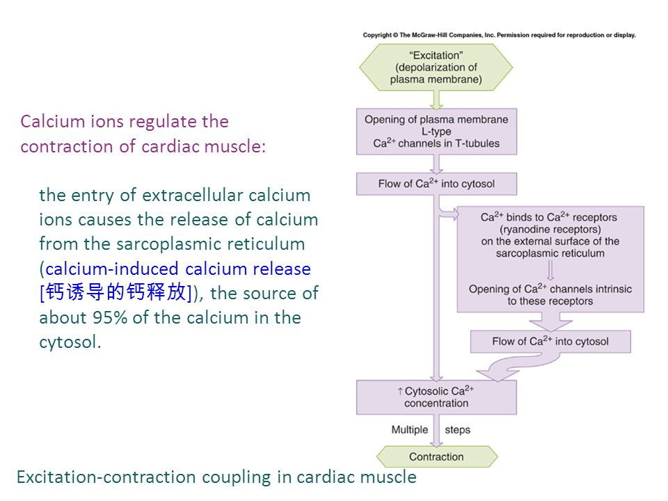 Calcium ions regulate the contraction of cardiac muscle: the entry of extracellular calcium ions causes the release of calcium from the sarcoplasmic reticulum (calcium-induced calcium release [ 钙诱导的钙释放 ]), the source of about 95% of the calcium in the cytosol.