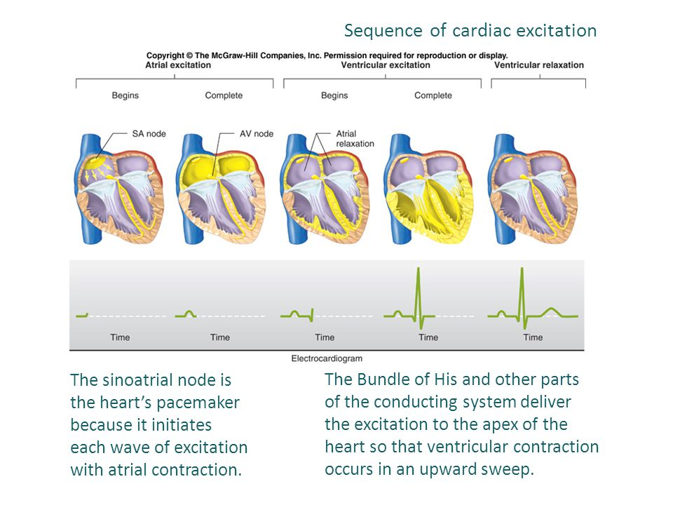 The sinoatrial node is the heart's pacemaker because it initiates each wave of excitation with atrial contraction. The Bundle of His and other parts o