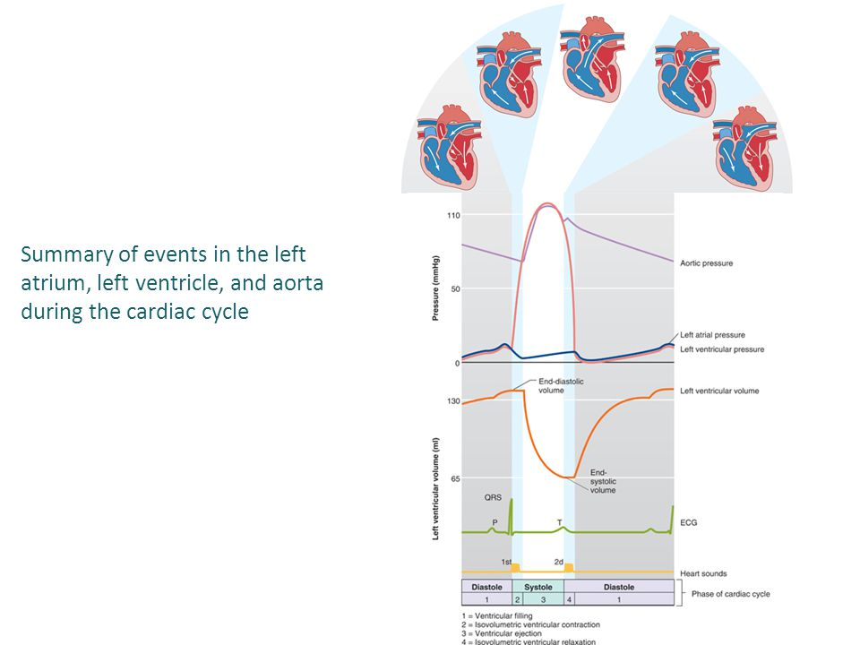 Summary of events in the left atrium, left ventricle, and aorta during the cardiac cycle