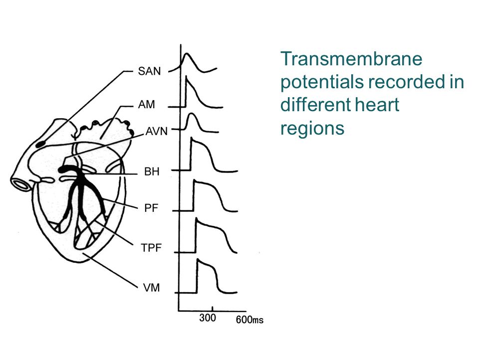 Transmembrane potentials recorded in different heart regions
