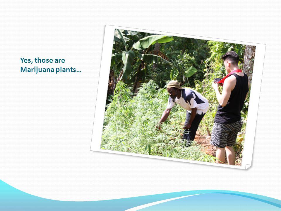 Yes, those are Marijuana plants…