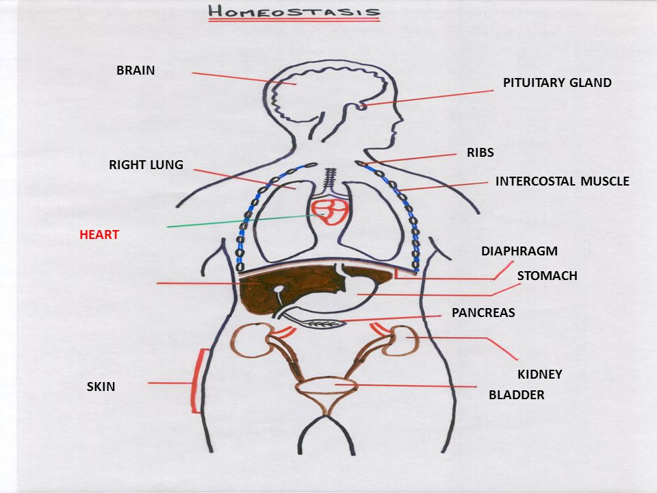 BRAIN PITUITARY GLAND RIBS INTERCOSTAL MUSCLE RIGHT LUNG HEART DIAPHRAGM STOMACH PANCREAS KIDNEY BLADDER SKIN