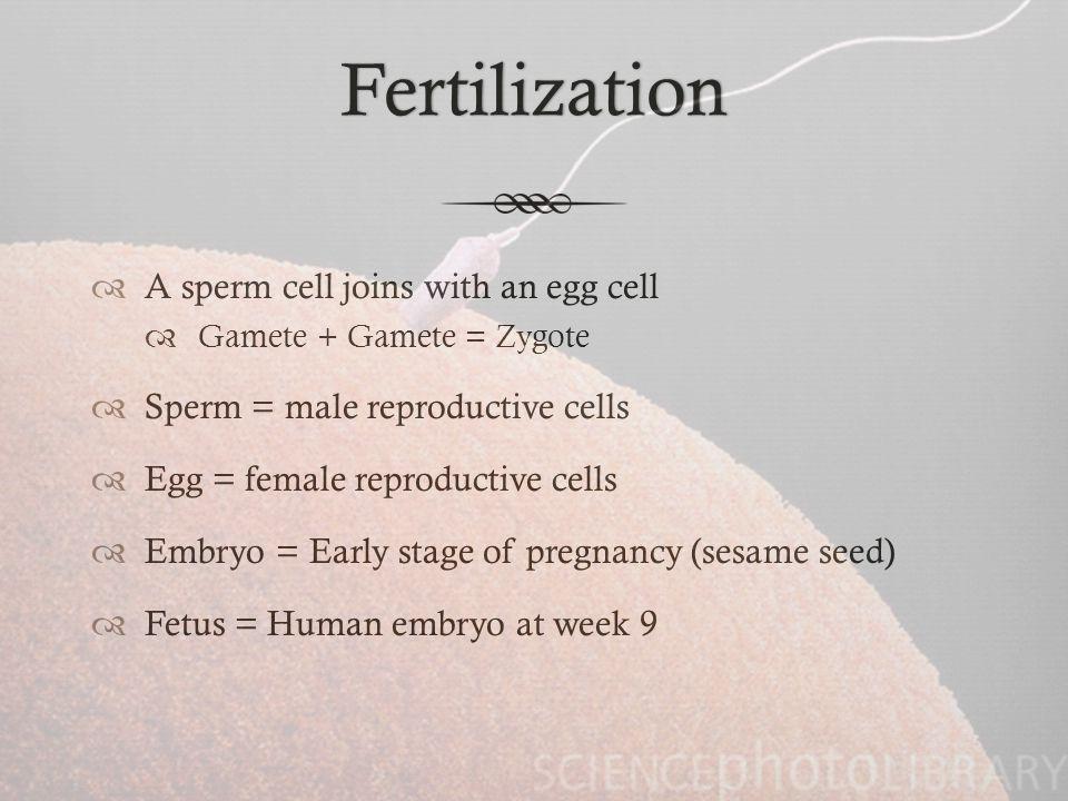 Fertilization  Fertilization  If one sperm does make its way into the Fallopian tube and burrow into the egg, it fertilizes the egg.