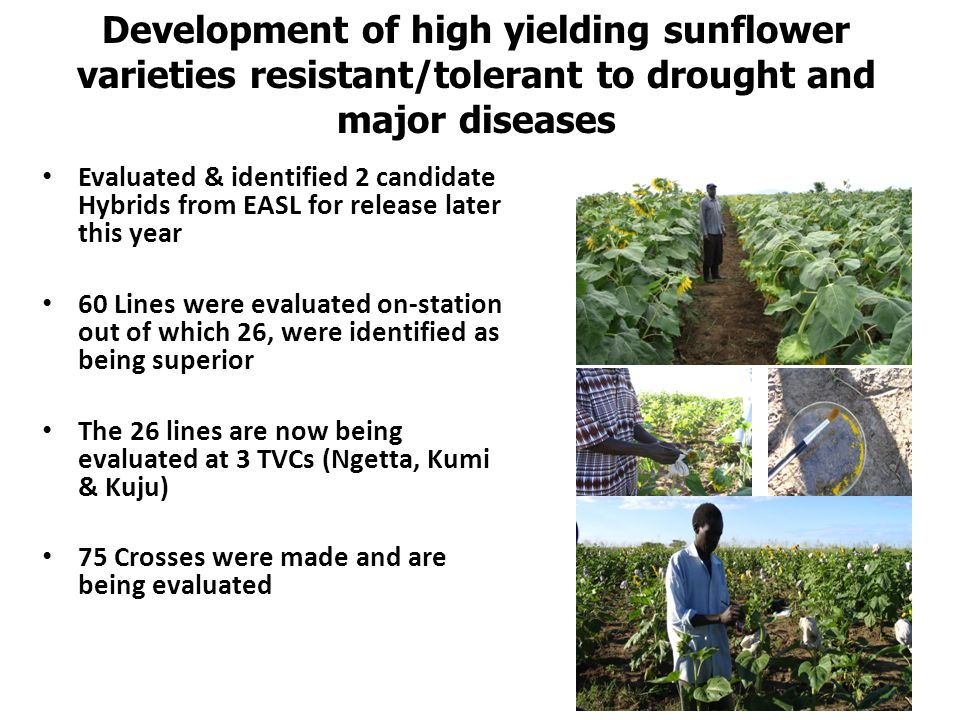 Development of high yielding sunflower varieties resistant/tolerant to drought and major diseases Evaluated & identified 2 candidate Hybrids from EASL