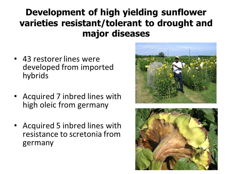 Development of high yielding sunflower varieties resistant/tolerant to drought and major diseases 43 restorer lines were developed from imported hybri