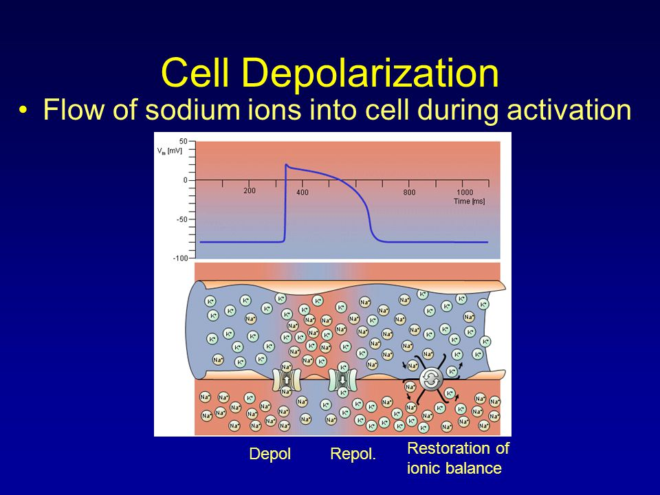 Cell Depolarization Flow of sodium ions into cell during activation DepolRepol. Restoration of ionic balance