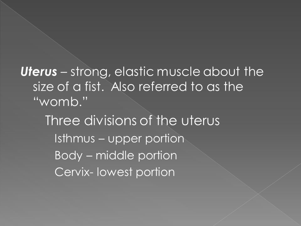 "Uterus – strong, elastic muscle about the size of a fist. Also referred to as the ""womb."" Three divisions of the uterus Isthmus – upper portion Body –"