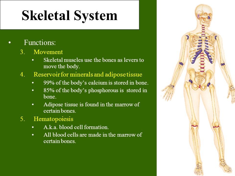 Skeletal System Functions: 3.Movement Skeletal muscles use the bones as levers to move the body. 4.Reservoir for minerals and adipose tissue 99% of th