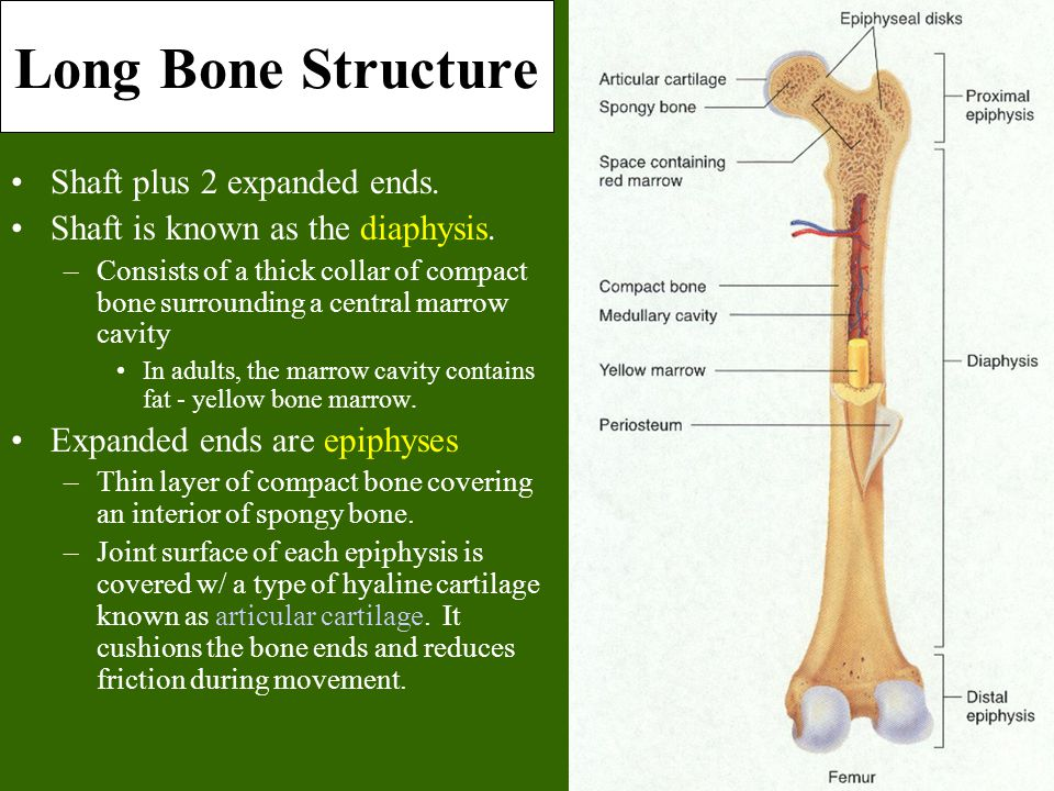 Long Bone Structure Shaft plus 2 expanded ends. Shaft is known as the diaphysis. –Consists of a thick collar of compact bone surrounding a central mar