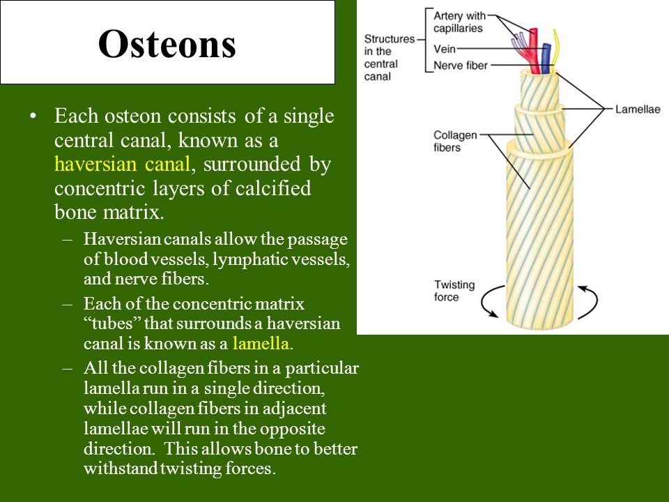 Osteons Each osteon consists of a single central canal, known as a haversian canal, surrounded by concentric layers of calcified bone matrix. –Haversi