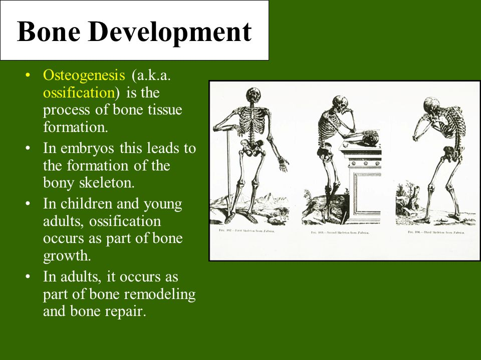 Bone Development Osteogenesis (a.k.a. ossification) is the process of bone tissue formation. In embryos this leads to the formation of the bony skelet
