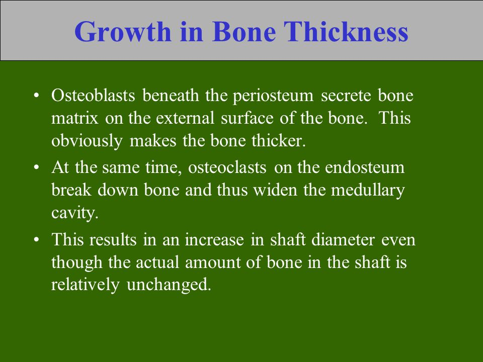 Growth in Bone Thickness Osteoblasts beneath the periosteum secrete bone matrix on the external surface of the bone. This obviously makes the bone thi