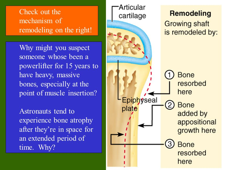 Check out the mechanism of remodeling on the right! Why might you suspect someone whose been a powerlifter for 15 years to have heavy, massive bones,