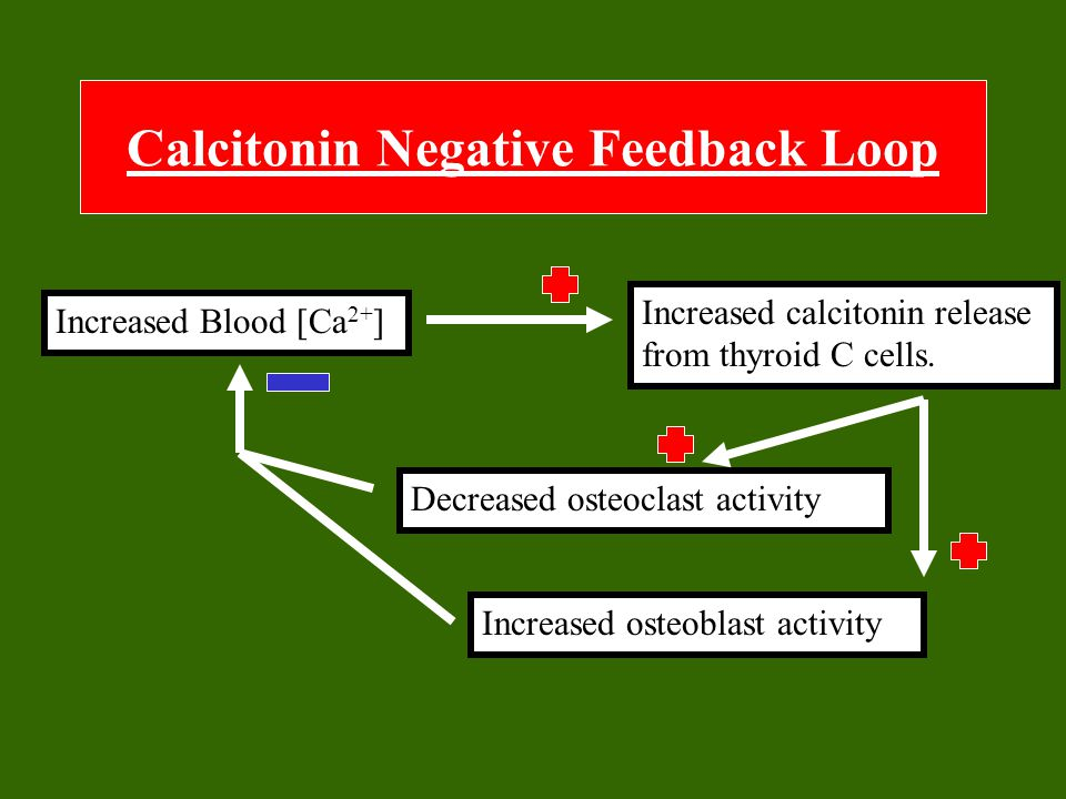 Calcitonin Negative Feedback Loop Increased Blood [Ca 2+ ] Increased calcitonin release from thyroid C cells. Increased osteoblast activity Decreased