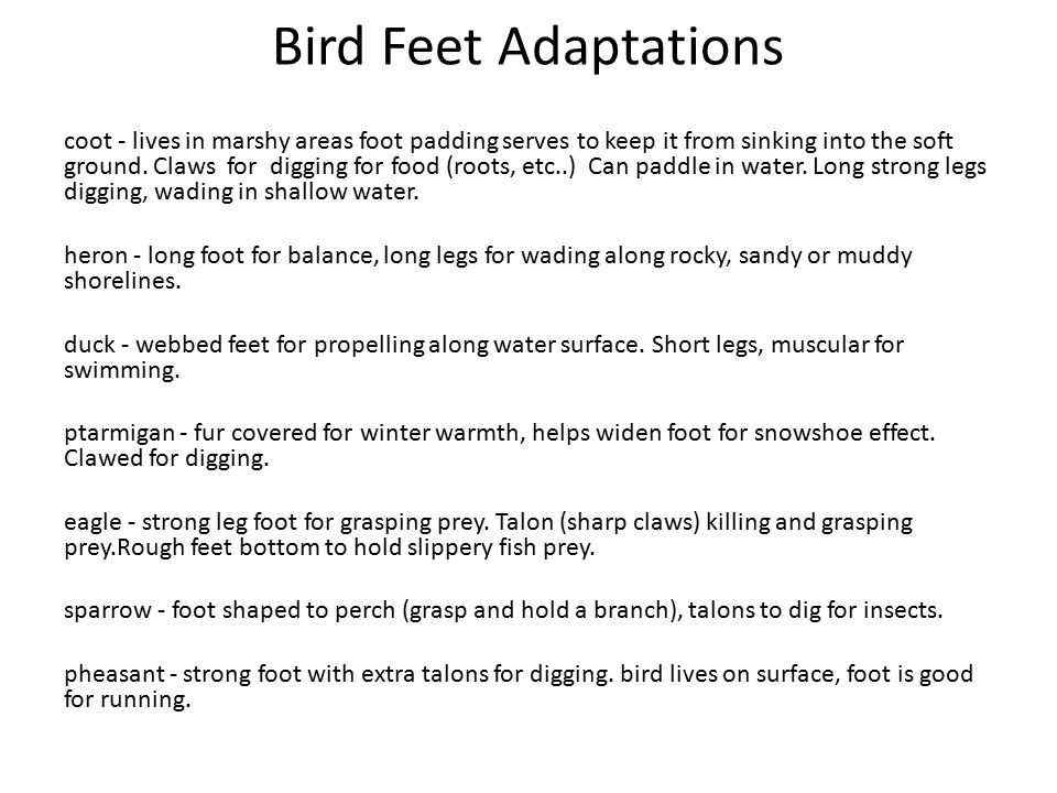 Bird Feet Adaptations coot - lives in marshy areas foot padding serves to keep it from sinking into the soft ground.