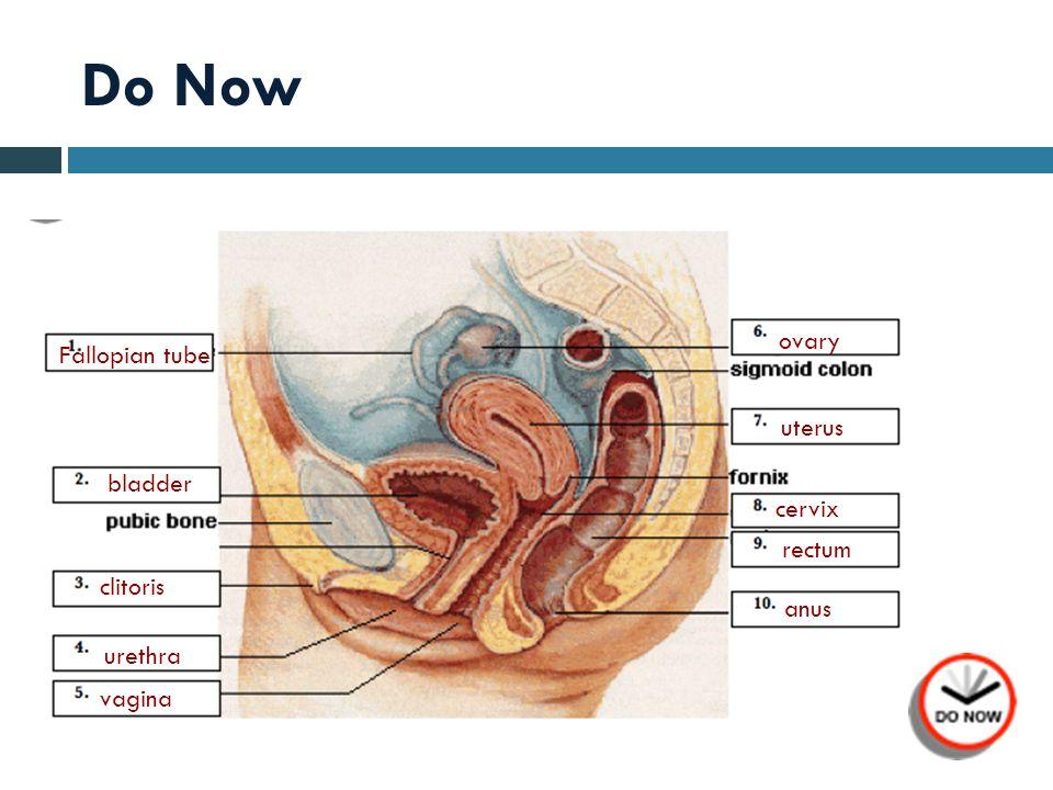 Do Now Fallopian tube bladder clitoris urethra vagina ovary uterus cervix rectum anus