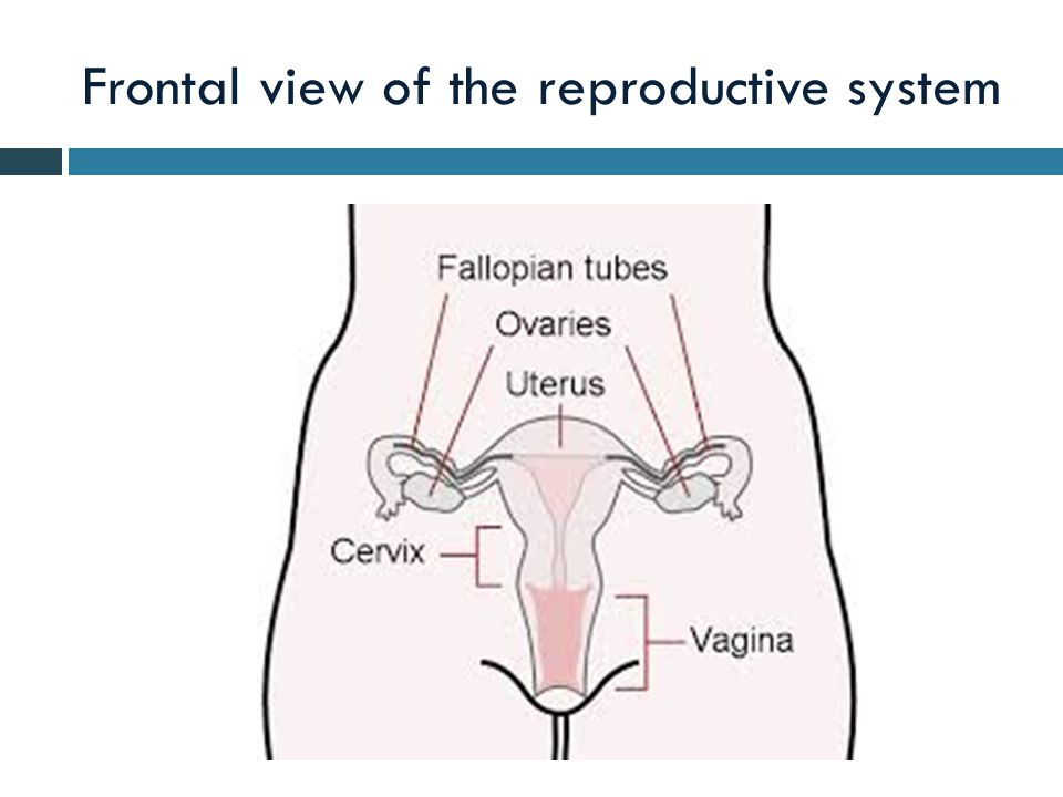 Frontal view of the reproductive system