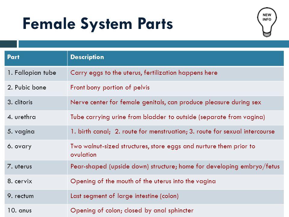 Female System Parts PartDescription 1. Fallopian tubeCarry eggs to the uterus, fertilization happens here 2. Pubic boneFront bony portion of pelvis 3.