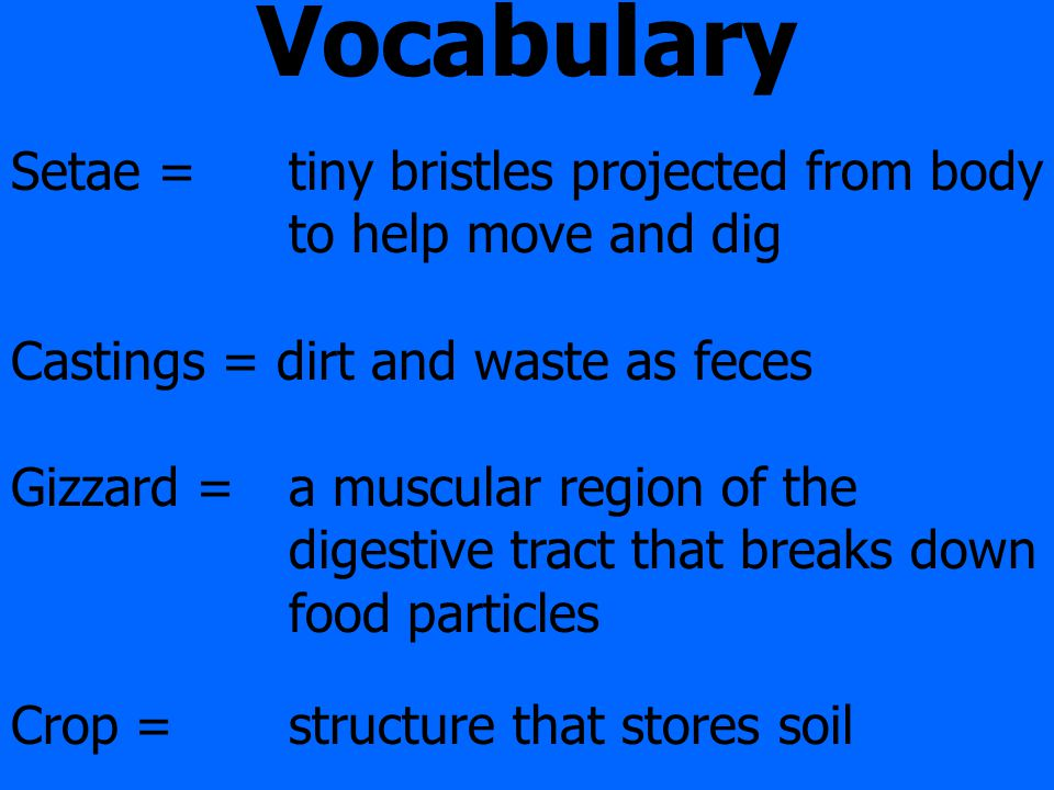 Vocabulary Setae = tiny bristles projected from body to help move and dig Castings = dirt and waste as feces Gizzard = a muscular region of the digestive tract that breaks down food particles Crop = structure that stores soil