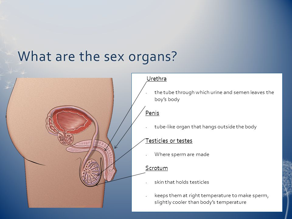 What are the sex organs?What are the sex organs? Urethra - the tube through which urine and semen leaves the boy's body Penis - tube-like organ that h