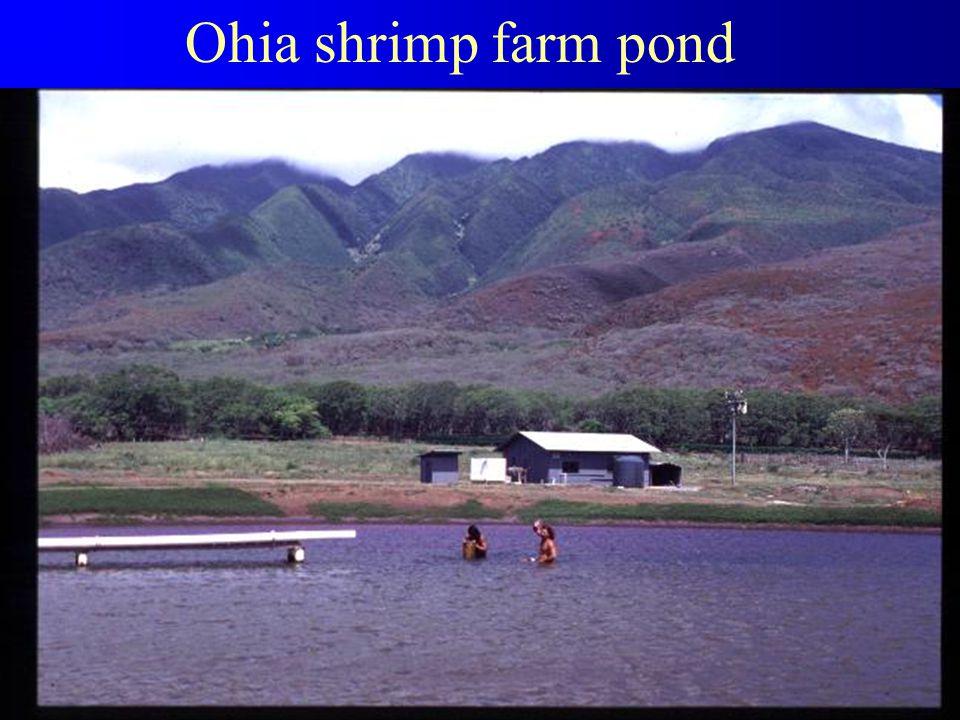 Ohia shrimp farm pond