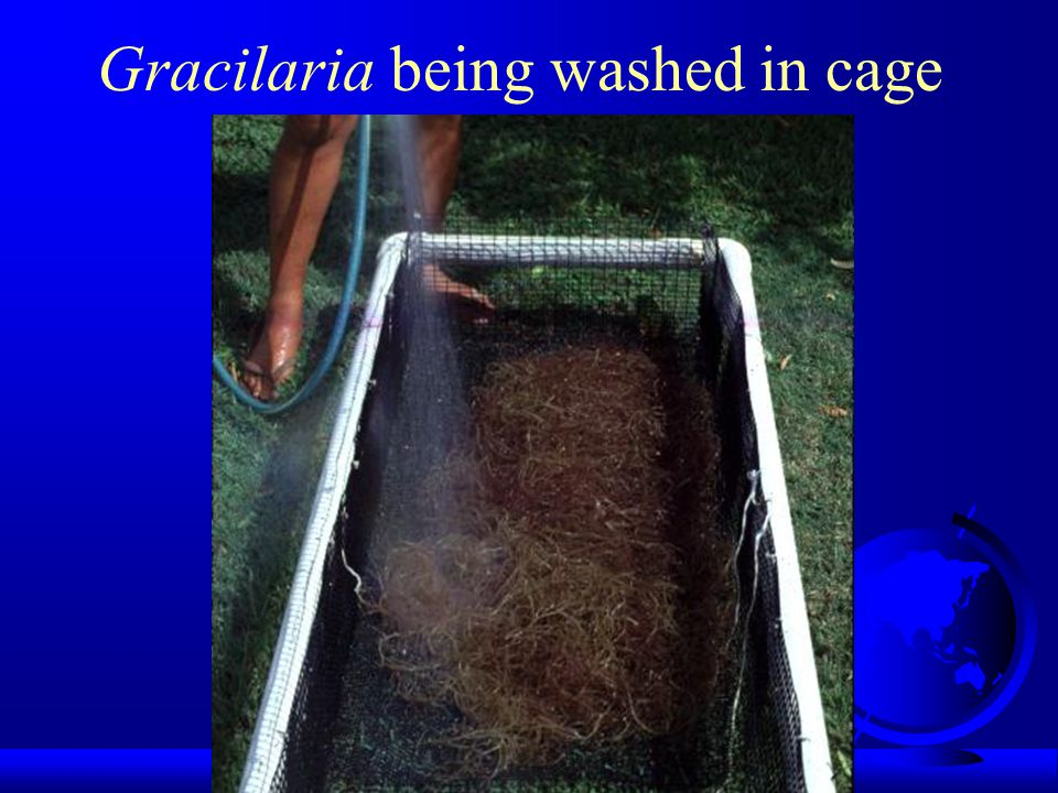 Gracilaria being washed in cage