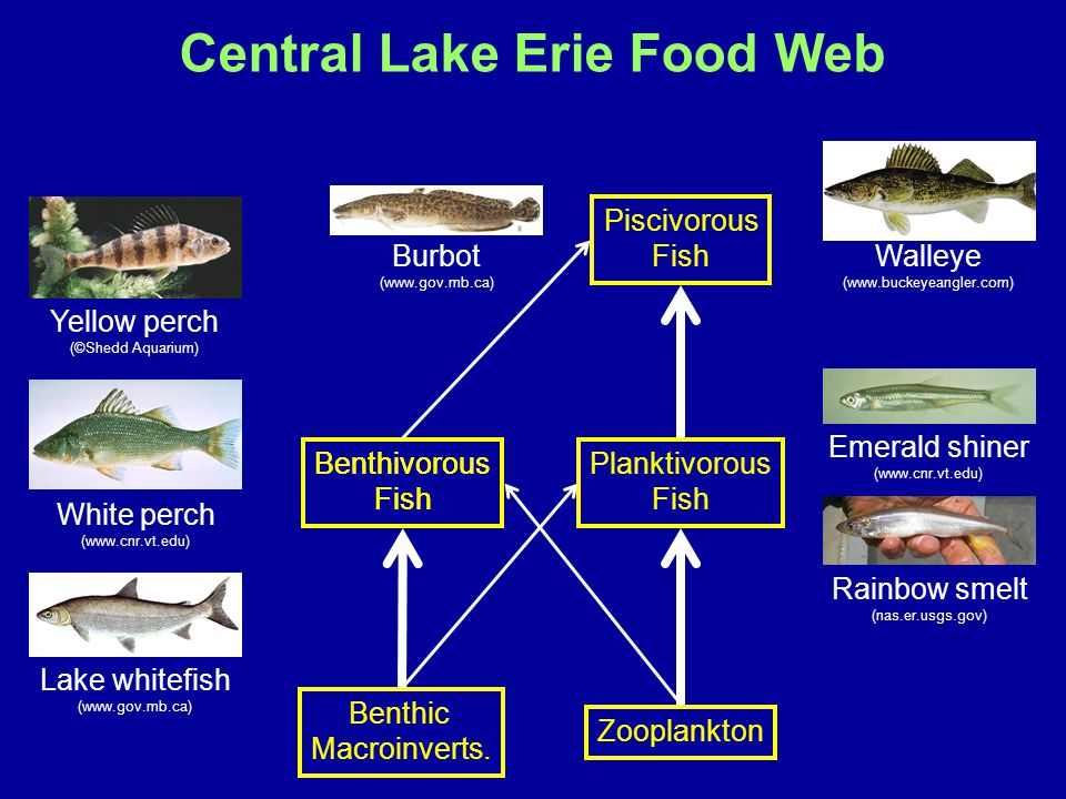 Zooplankton Benthic Macroinverts. Walleye (www.buckeyeangler.com) Planktivorous Fish Benthivorous Fish Emerald shiner (www.cnr.vt.edu) Rainbow smelt (