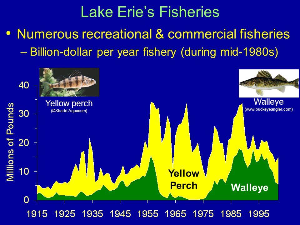Numerous recreational & commercial fisheries –Billion-dollar per year fishery (during mid-1980s) Lake Erie's Fisheries Walleye Yellow Perch Walleye (www.buckeyeangler.com) Yellow perch (©Shedd Aquarium)