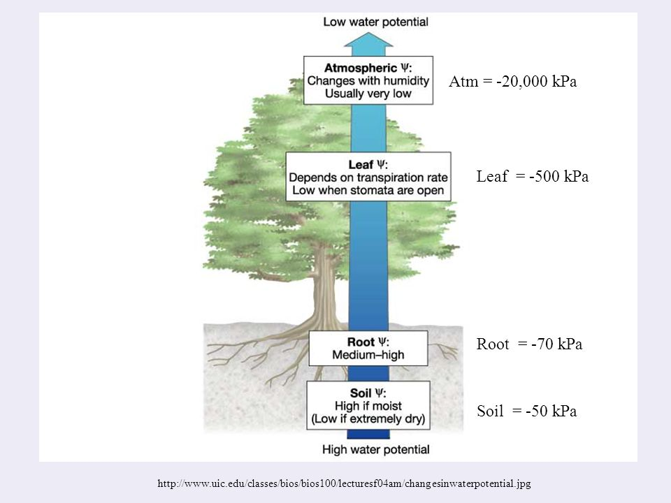 http://www.uic.edu/classes/bios/bios100/lecturesf04am/changesinwaterpotential.jpg Atm = -20,000 kPa Leaf = -500 kPa Root = -70 kPa Soil = -50 kPa