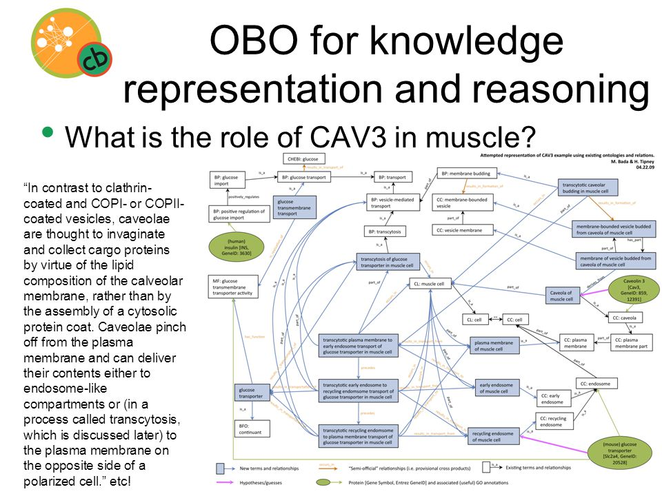 OBO for knowledge representation and reasoning What is the role of CAV3 in muscle.