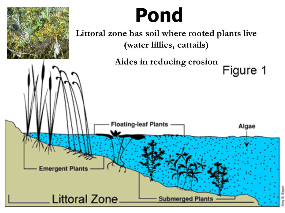 Pond Littoral zone has soil where rooted plants live (water lillies, cattails) Aides in reducing erosion